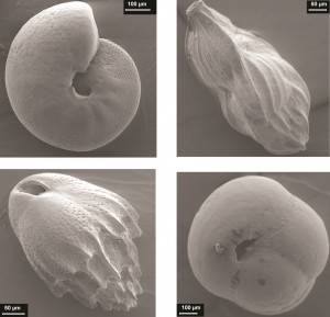 Benthic foraminifers Mediterranean