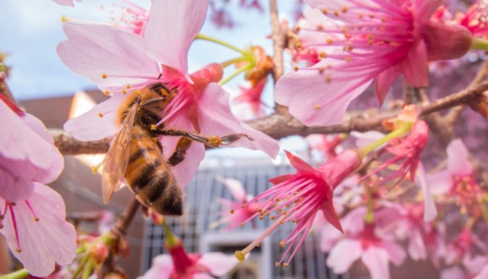 Coffee break biogeosciences–Urban bees found to feed on flowers