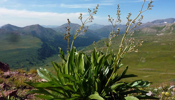 Coffee break biogeosciences – climate change affects mountain plant's sex ratios