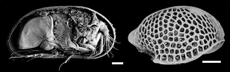 Ostracods, the sentinels of past oceanic circulation