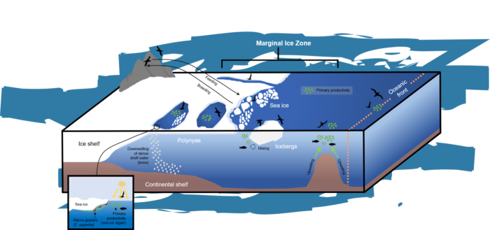 Life on the (Ice) Edge: Antarctic Seabirds and Sea Ice