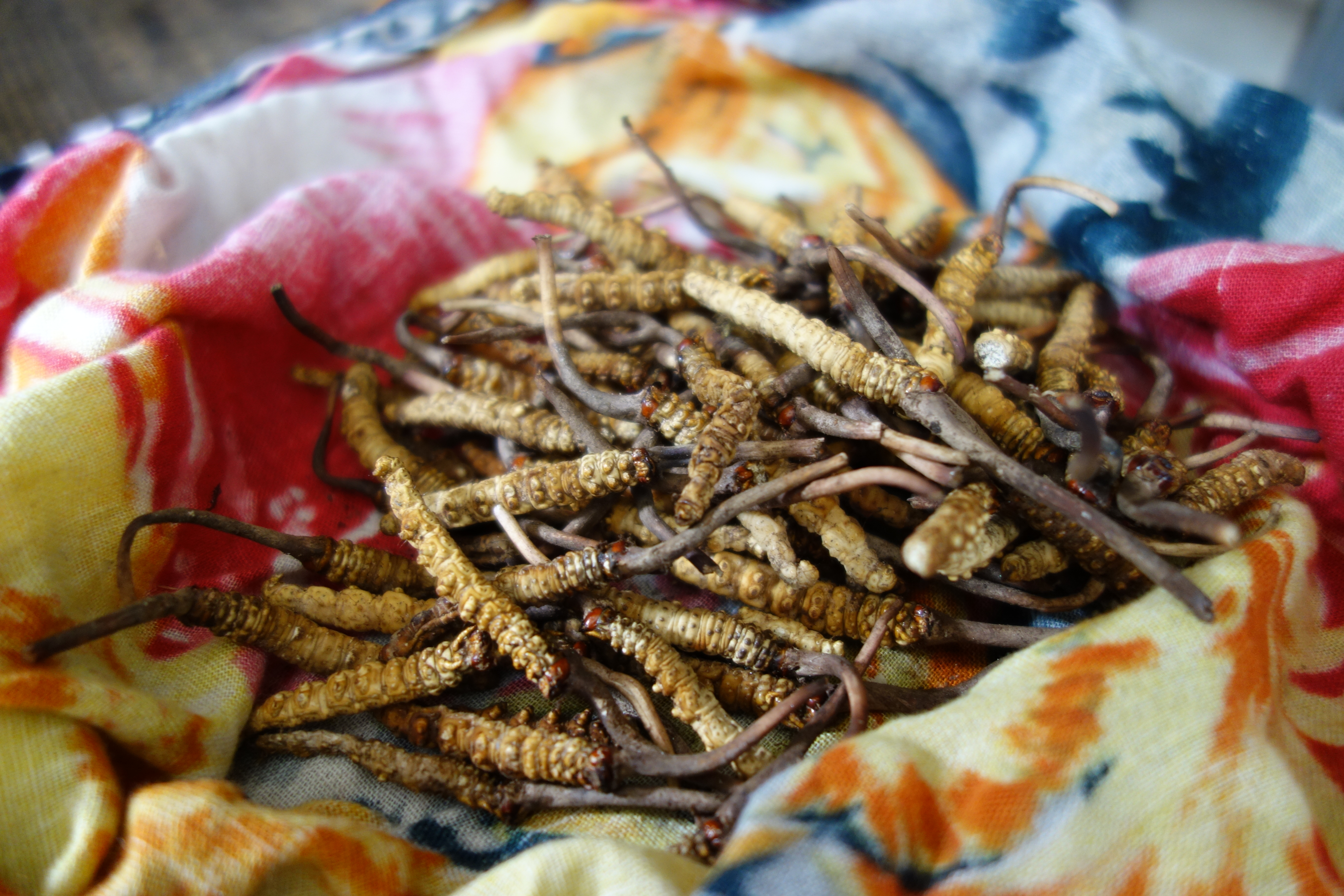 Freshly collected Yartsa Gunbu (Ophiocordyceps sinensis) may provide between 30 and up to 70% of the annual family income (by Dr. Viktor Bruckman).