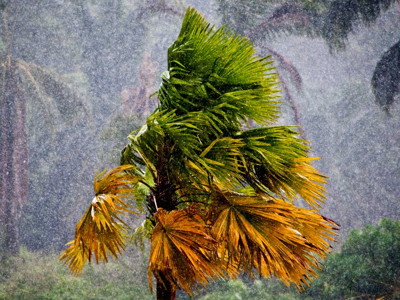 A tropical palm tree hit by heavy storm.