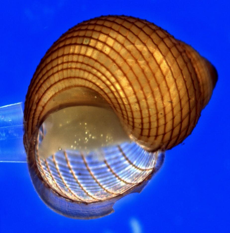 Marine Gastropod