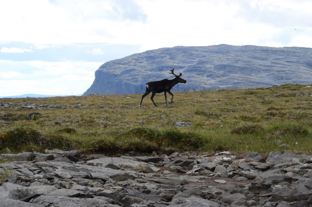 A reindeer surveys researchers in front of Saana Fell. Image credit Liz Kalaugher