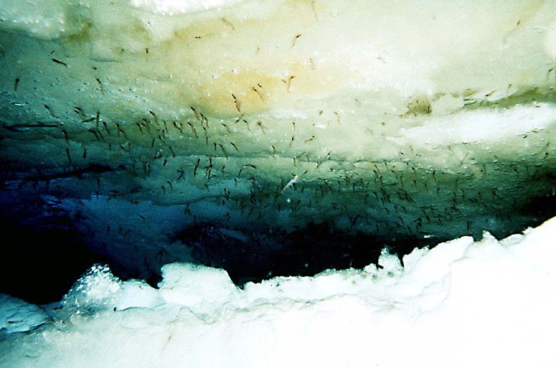The underside of Antarctic pack ice. The brown-green algae are an important food source for krill, as well as being a source of atmospheric iodine. (Credit: Kills and Marshall, 1995)