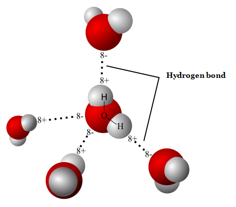 Water molecules are drawn together by hydrogen bonding – attraction between negative hydrogen atoms and positive oxygen atoms. (Credit: Wikimedia Commons User Qwerter)