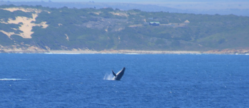 A jumping humpback whale – just one of the great sights we encountered on this cruise (Credits: Volker Mohrholz)