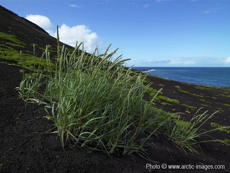 Hardy grass on Surtsey's black sands. (Credit: Ragnar Sigurdsson (arctic-images.com via imaggeo.egu.eu)