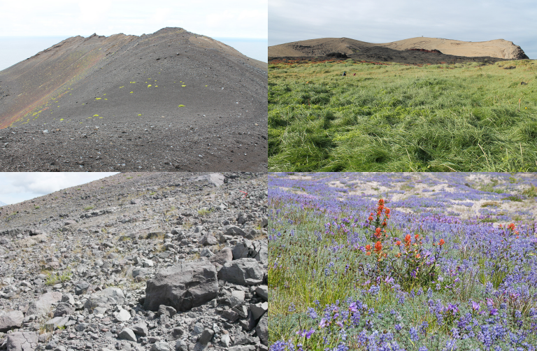 Vegetation on Surtsey (top, credit: Borgþór Magnússon) and Mount St Helens (bottom, credit: Roger del Moral). Images on the left are areas where the rate of succession is slow, those on the right detail areas with a faster succession rate.