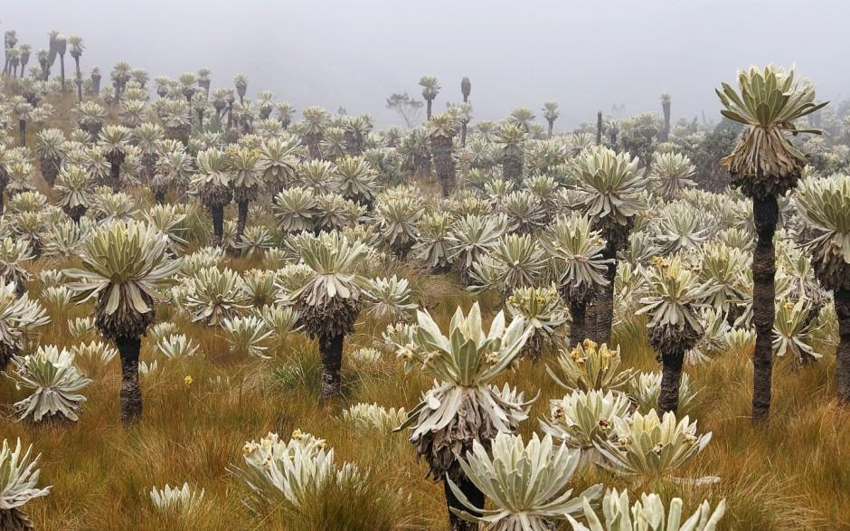 Páramo El Ángel in Ecuador with Espeletia plants (Credit: Martin Mergili via http://www.mergili.at/worldimages/)).