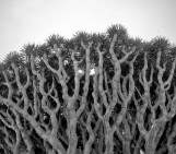 Imaggeo on Mondays: Dragon Blood Tree