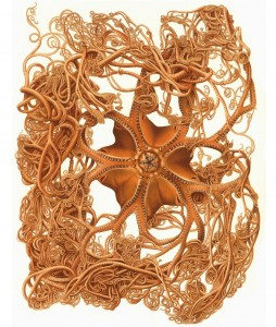 Basket star - Gorgonocephalus arcticus (Leach, 1819) (from Koehler 1909, pl. 9; as Gorgonocephalus agassizi; Stimpson, 1854). This is the species that was caught during the John Ross expedition.