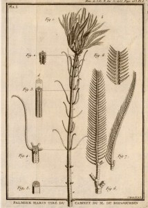"""Cenocrinus asterius (Linné, 1767) (from Guettard, 1761, pl. 8; as """"Palmier marin""""). This was the first modern stalked crinoid that was described."""