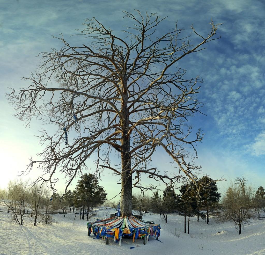 Mother Tree, Mongolia . Credit: Gantuya Ganbat (distributed via  imaggeo.egu.eu)