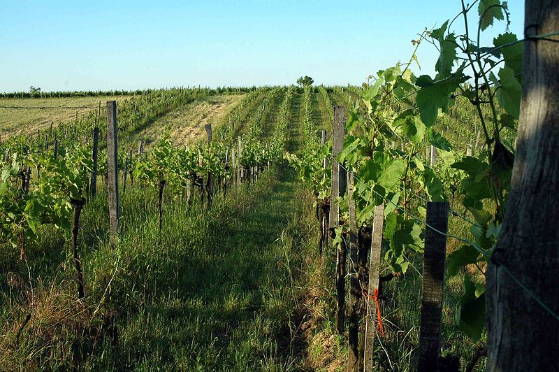 One of Austria's many vineyards. Credit: Verita, Wikimedia Commons.