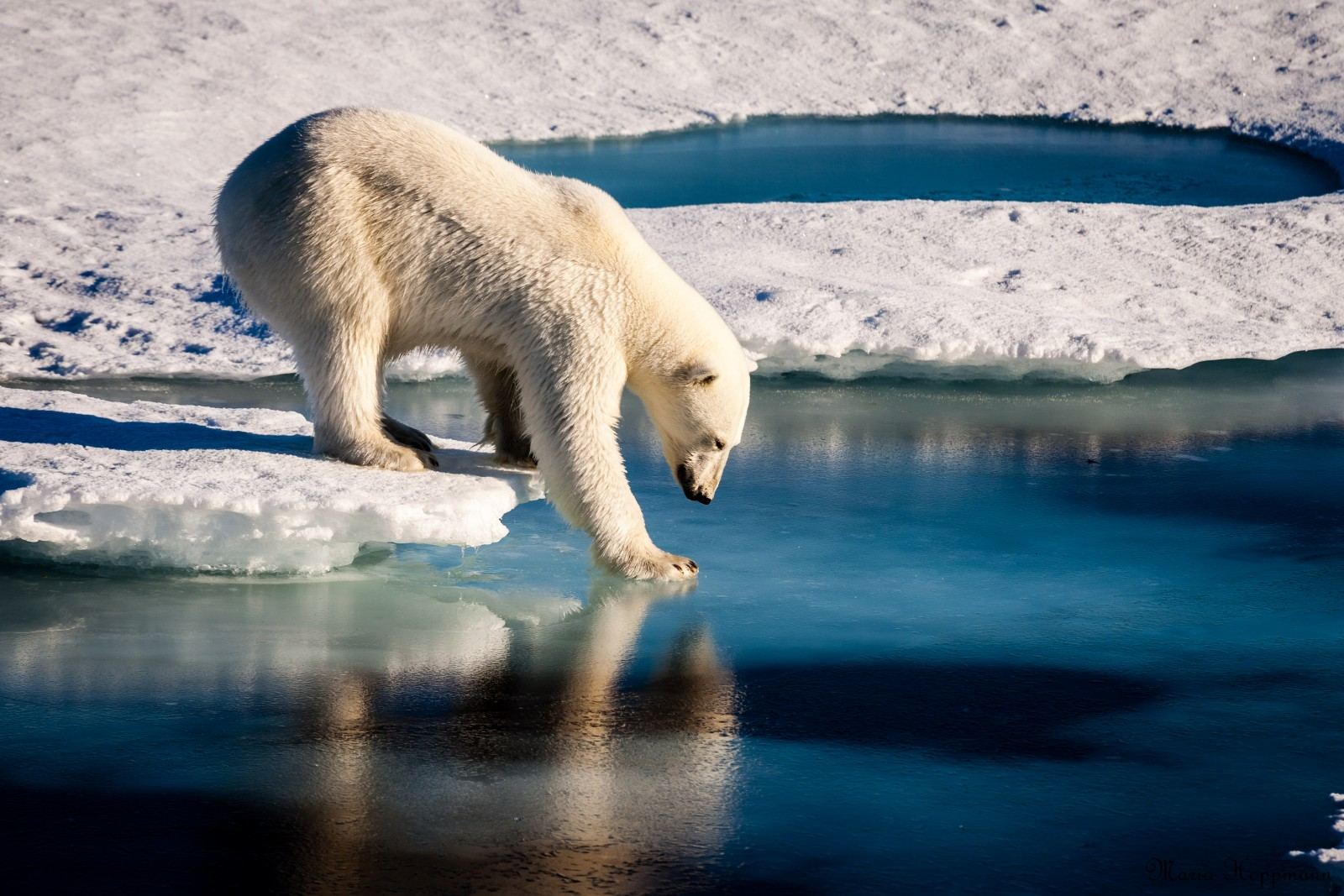 "'Mirror Mirror in the sea...' . Credit: Mario Hoppmann (distributed via imaggeo.egu.eu). A polar bear is testing the strength of thin sea ice. Polar bears and their interaction with the cryosphere are a prime example of how the biosphere is able to adapt to an ""Active Planet"". They are also a prime example of how the anthropogenic influence on Earth's climate system endangers other lifeforms."