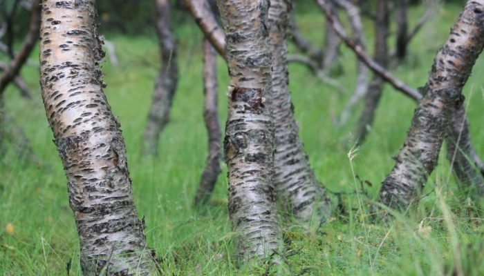 Imaggeo on Mondays: Iceland's original birch forest