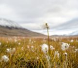 Imaggeo on Mondays: Arctic cottongrass in Svalbard