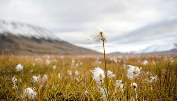 Imaggeo on Mondays: Arctic cottongrass in Svalbard