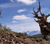 Imaggeo on Mondays: Bristlecone pines, some of Earth's oldest living life forms
