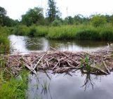 Could beavers be responsible for long-debated deposits?
