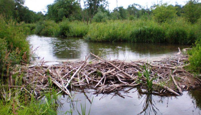 Could beavers be responsible for long-debated deposits?