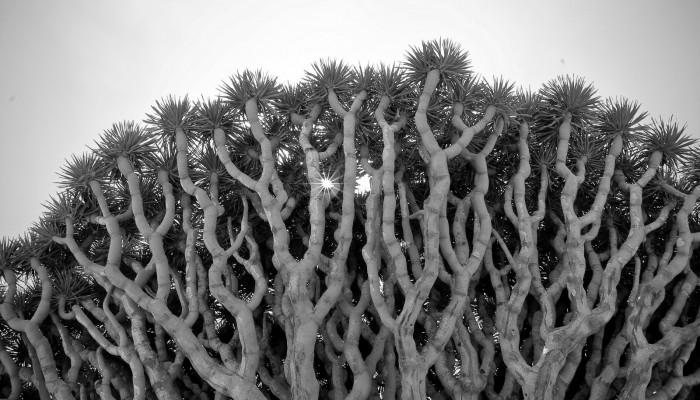 Imaggeo on Mondays: Dragon Blood Tree