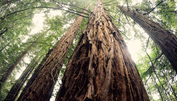Imaggeo On Monday: A marvellous sequoia in spring time
