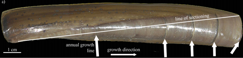 This is a razor clam (Ensis directus).The white arrows point out the annual growth lines. (Credit: Cardoso et al., 2013)