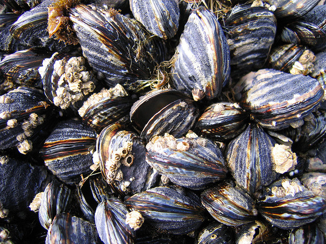 California mussels, Mytilus californianus. (Credit: Stephen Bentsen)