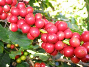 800px-CoffeeCatucai