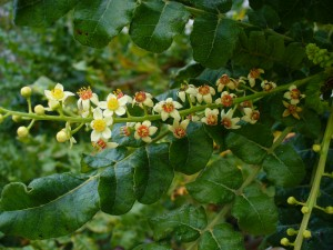 Flowers from a Boswellia sacra tree - Source: Scott Zona, Wikimedia Commons.