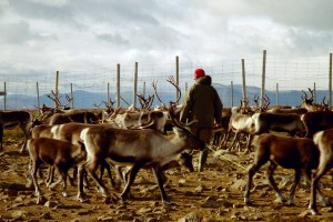 Reindeer herding in Sweden - Source: Mats Andersson, Wikimedia Commons.