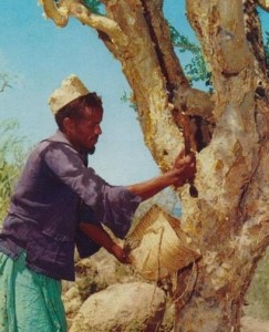 Man collecting myrrh in Somalia - Source: Somalia Ministry of Information and National Guidance, Wikimedia Commons.