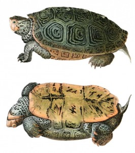 Hand-colored lithograph of Malaclemys terrapin, in John Edwards Holbrook's North American herpetology. Source - WIkimedia Commons.