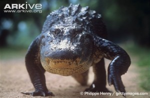..and an american alligator are quite striking, seeing as they're both quadrupedal animals