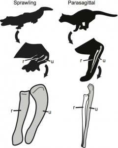 Differences in quadrupedal posture between a croc and a cat (r - radius, u - ulna)