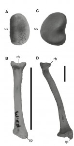 The radial head (A) and long axis (B) of Caiman crocodylus and the radial head (C) and long axis (D) of Ursus americanas. Scale bar = 5 cm. Radial heads not to scale. rh, radial head; sp, styloid process; us, ulnar articular surface.