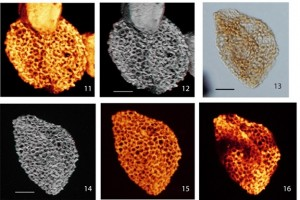 Photos of pollen grains from Plate II in Hochuli and Feist Burkhardt (2013) showing images of pollen type IV that is monosulcate and columellate.