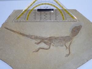 Alligatorellus beaumonti, holotype specimen. Copyright: Bavarian State Collection, Munich
