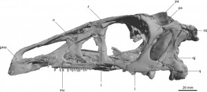 A 3D skull of the theropod, Erlikosaurus andresi (Lautenschlager, 2013)