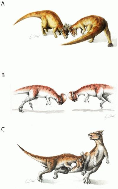Fig.2 Several plausible combat scenarios between pachycephalosaurs. A is bison-like shoving, B is more collisional clashing, C is broadside butting (PLoS)