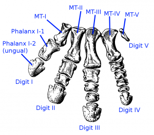Bones in a dinosaur foot! (Source)