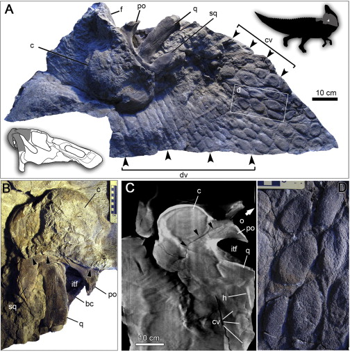 A. Preserved elements of specimen, B. Close-up of skull, C. x-ray of skull, showing interior of comb, D. Close-up of neck scales 9c = comb structure) (source)