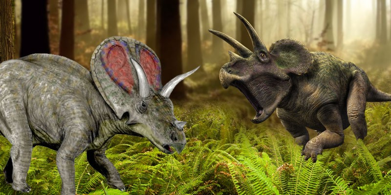 is torosaurus triceratops  the debate rages on