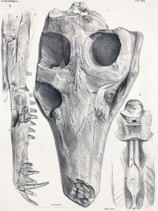 The skull of Pholidosaurus purbeckensis from the UK. (Source)
