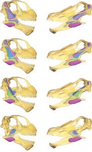 Dem muscles. Reconstruction of the muscley parts a sauropod would have used in chewing. (Button et al., 2014)