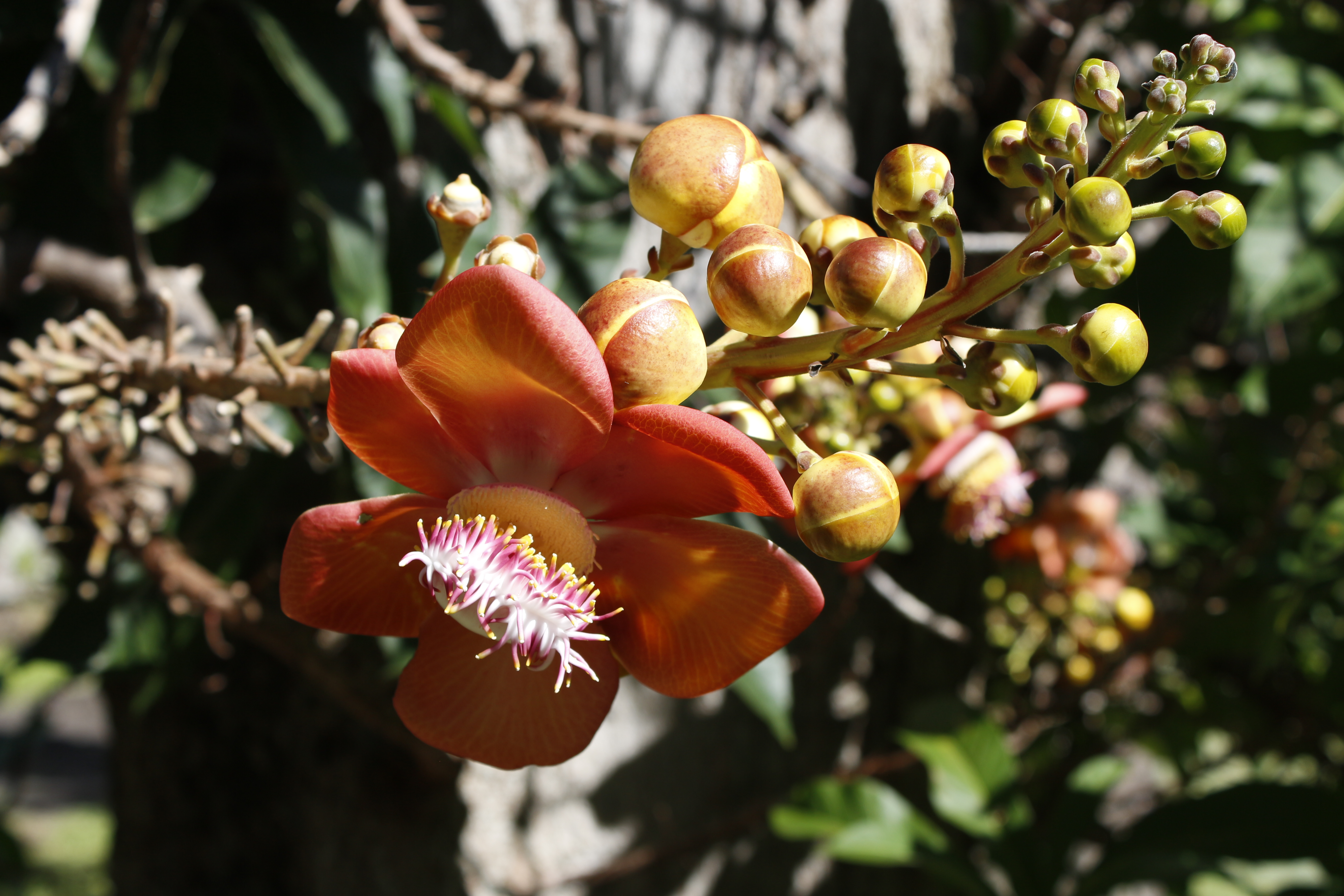 Flower of the Cannonball tree, Couroupita guianensis
